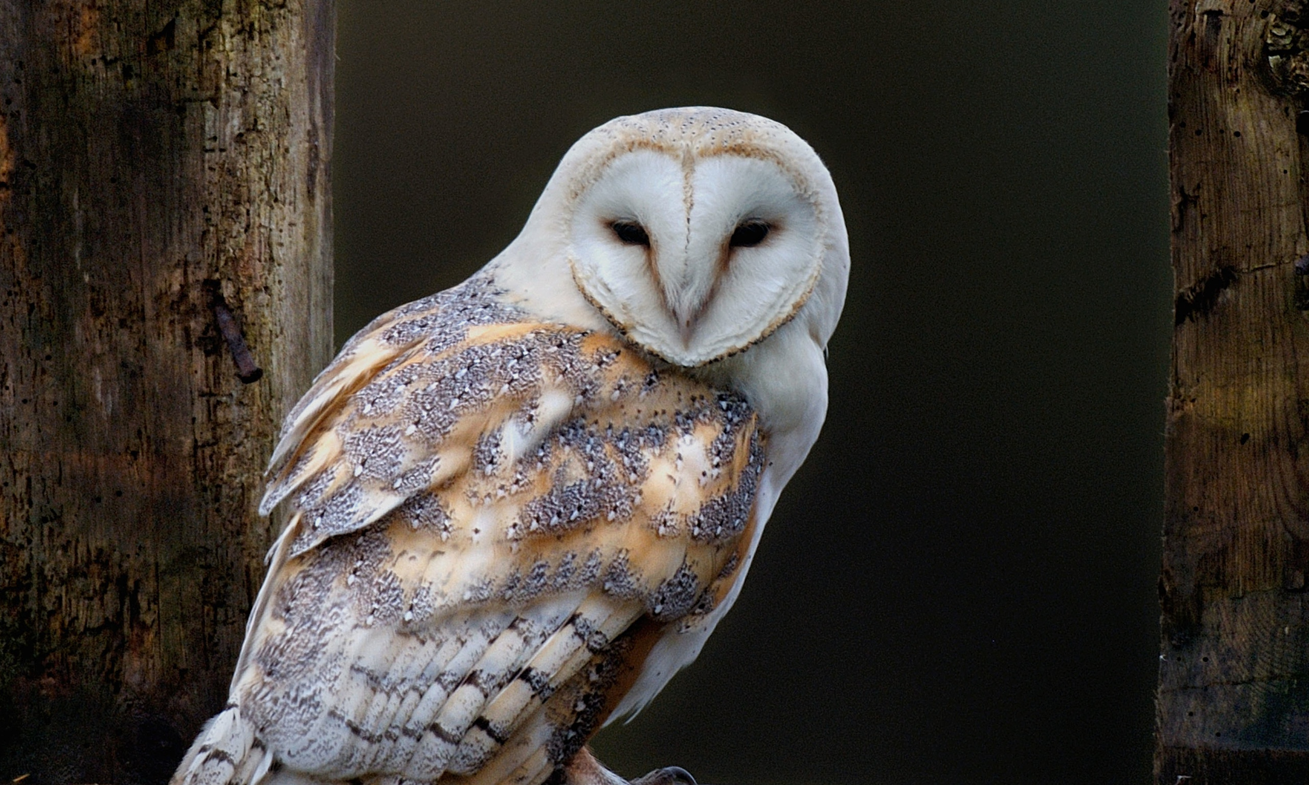 Watching Barn Owl