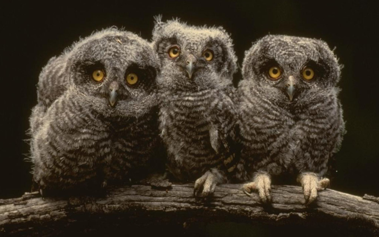 Young Owls Wallpaper